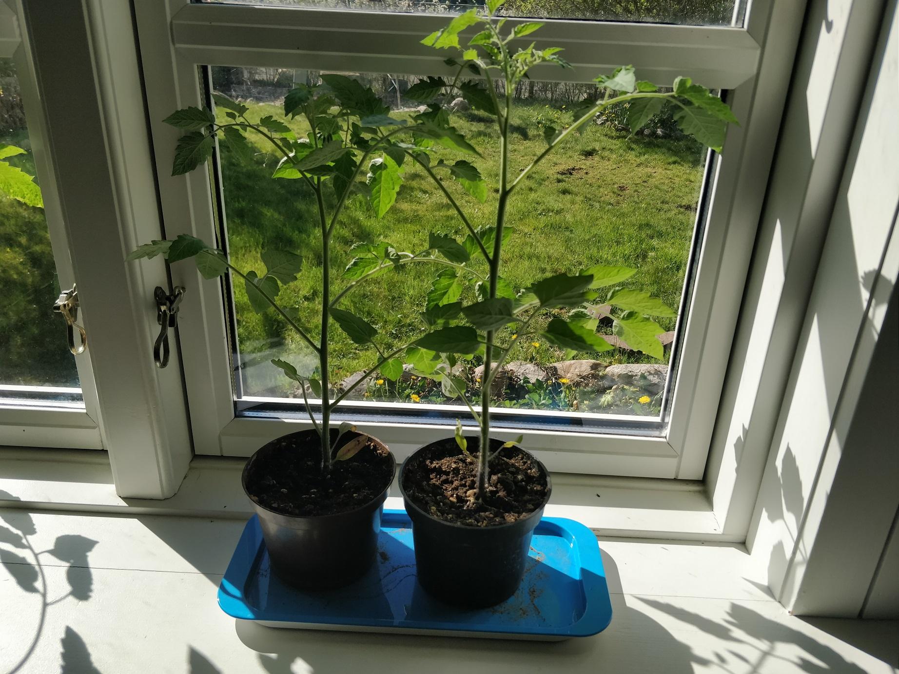 Nu er mine tomatplater snart så store at jeg ikke vil have dem i min vindueskarm mere!
