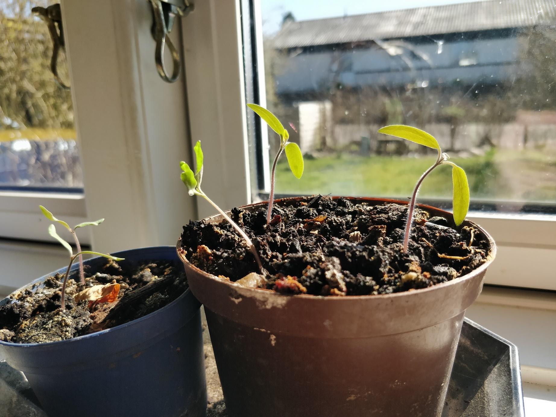 Tomatplanter der er forspiret i vindueskarmen