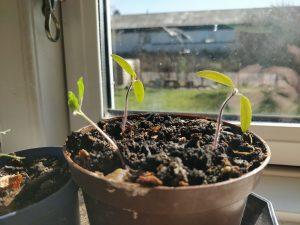 Forspiring af tomatplanter!